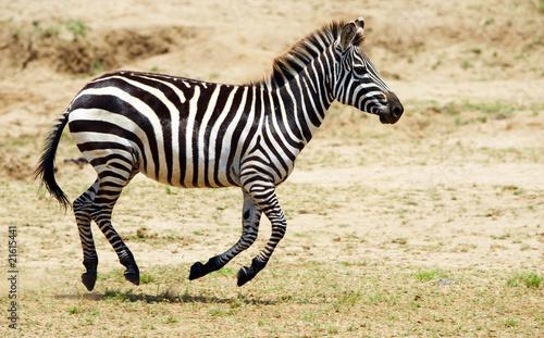 Aluminium Prints Zebra Single zebra (African Equid)