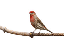Male House Finch Proudly Perch...