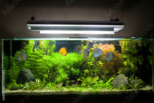 Fotografie, Obraz  Tropical Freshwater Aquarium with Discus Fish 1