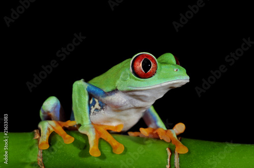 Foto op Canvas Kikker red eyed tree frog