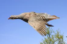 Chukar In Flight