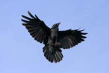 Black Crow Inflight With Wings...