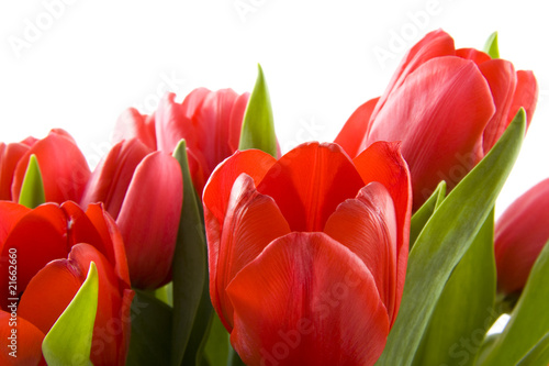 Naklejki tulipany czerwone-tulipany-holenderski