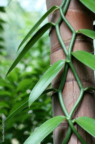 waniliowa-liana-na-pniu-palmy