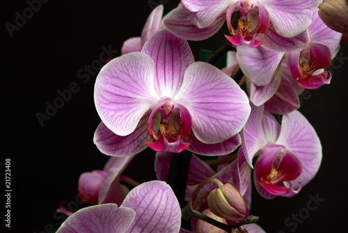Fototapety, obrazy: Branch of the orchid