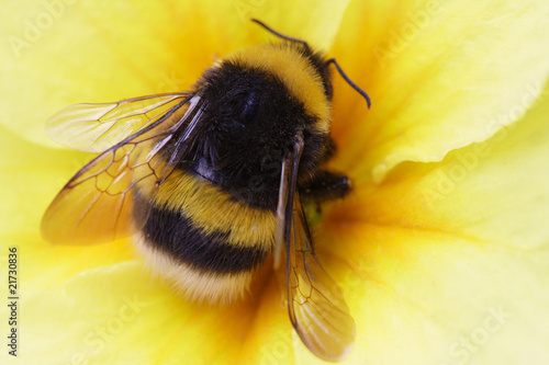 bumble bee on yellow Fototapete