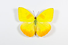 Yellow And Black Butterfly Phoebis Philea Isolated