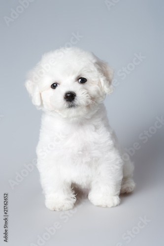Canvas-taulu bichon puppy