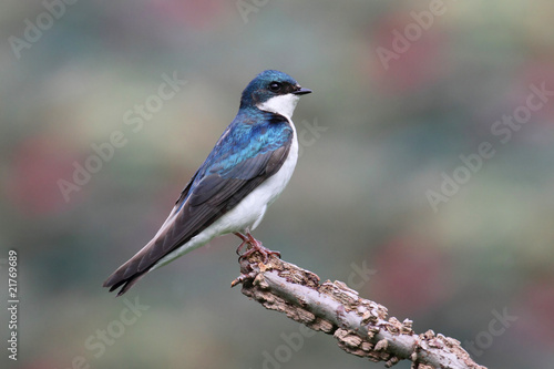 Aufkleber - Tree Swallow on a stump