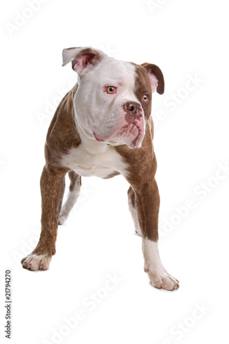 Poster Countryside American bulldog isolated on a white background