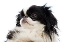 Head Of Japanese Chin Puppy