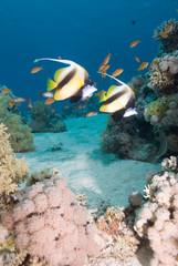 Naklejka na ściany i meble Red Sea bannerfish