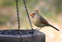 Beautiful Female Cardinal Eating Sunflower Seeds From Feeder