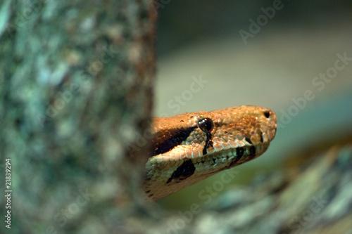 testa di serpente tra i rami della giungla Poster