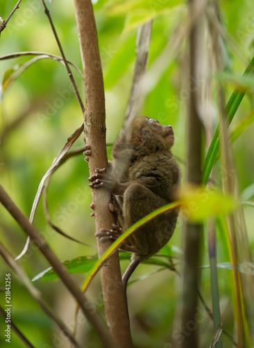 Printed kitchen splashbacks Squirrel Philippine tarsier