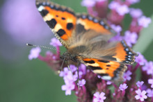 Butterfly Urticaria Sits On A ...