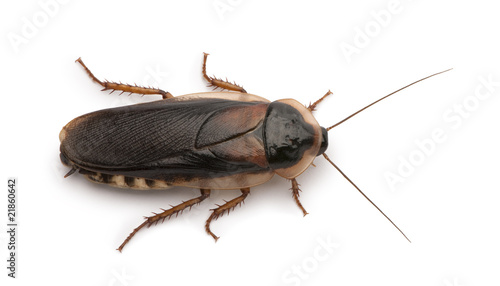 Dubia cockroach, in front of white background