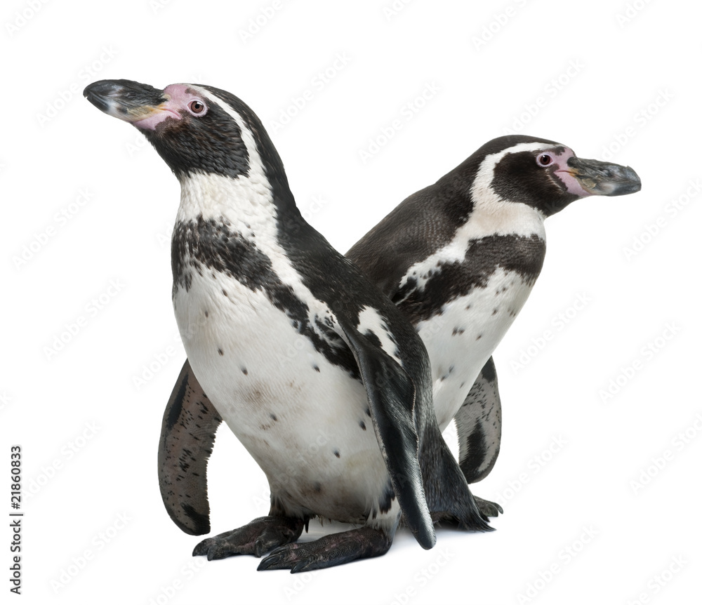 Humboldt Penguins, standing in front of white background