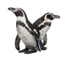 Humboldt Penguins, Standing In...