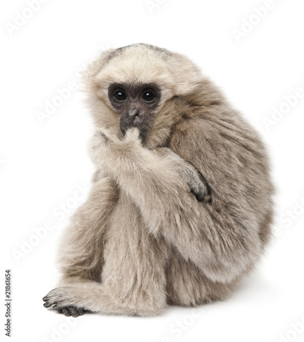 Side view of Young Pileated Gibbon, sitting фототапет