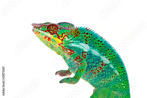 Staande foto Kameleon Caméléon de La Réunion sur fond blanc