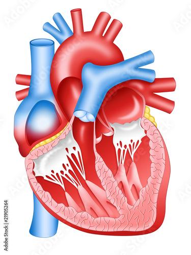 Fotografía  Human heart