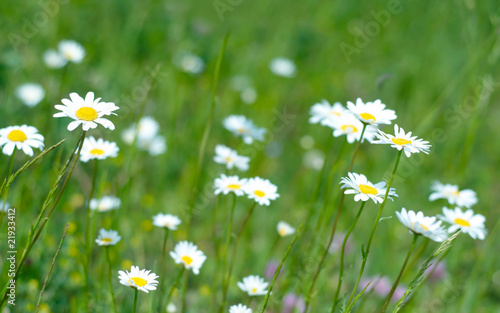 Staande foto Lente White and yellow daisies.