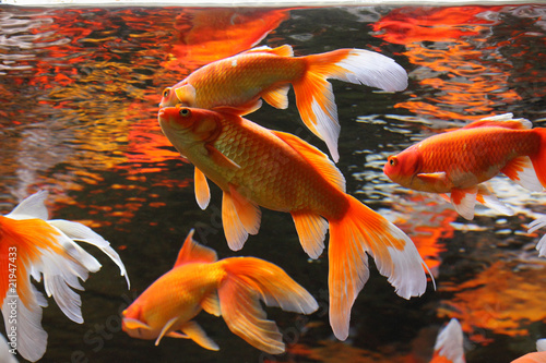Fotografía  Golden fishes