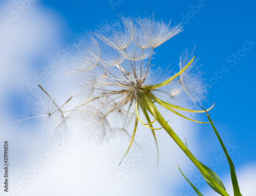 Canvas Prints Dandelions and water A Dandelion blowing