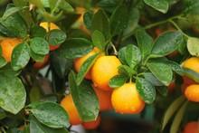 Beautiful Fresh Untouched Fruits Of Calamondin Tree