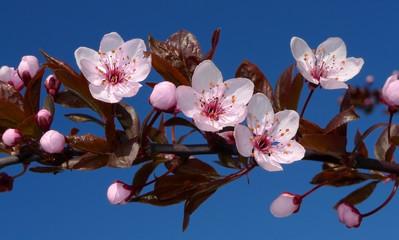 Obraz na Szklejapan sakura