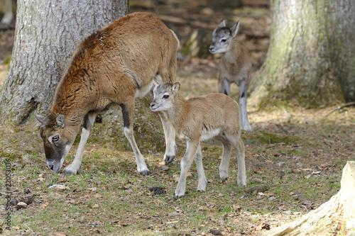 Fotobehang Ree mouflon, ovis aries