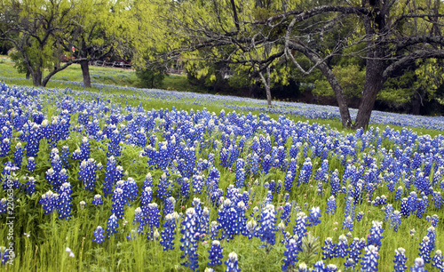 Foto op Canvas Texas Bluebonnets in the Texas Hill Country