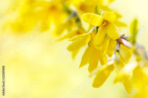 Photo abloom forsythia 02