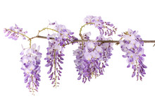 Wisteria Branch Flowers Isolated On White