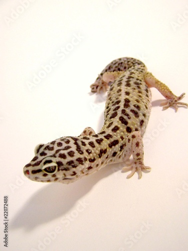 Normal Leopard Gecko front top view - Buy this stock photo and