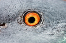 Eye Of A Pigeon Closeup
