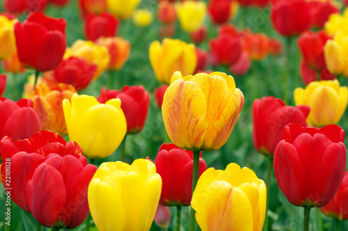Colorful tulips - 22101028