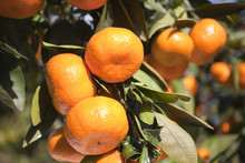 Mikan On The Tree In Japan.