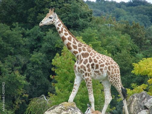 Photo  Girafe