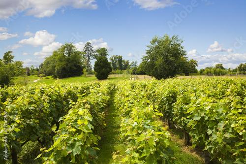 Papiers peints Vignoble Traditional vineyard in Versailles Chateau, France