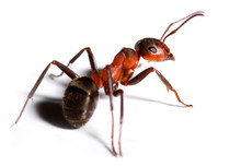 Big Red Ant . Macro With Shall...