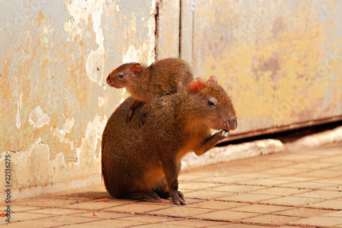 Agouti (Dasyprocta) with her cub Canvas Print