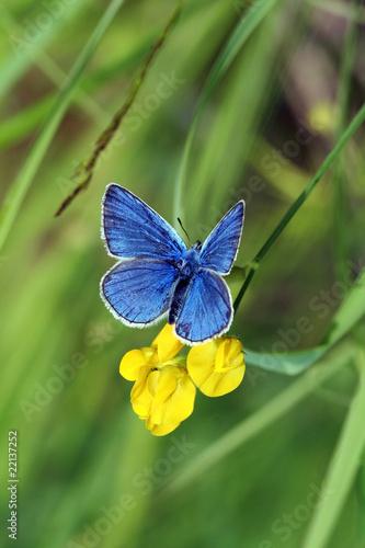 Plebicula amanda (butterfly) Canvas Print