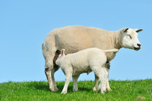 Mother Sheep And Her Lamb Drinking Milk In Spring