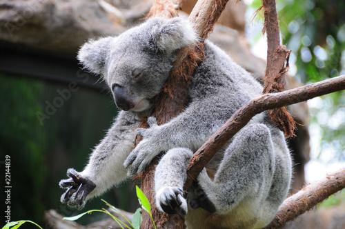 Staande foto Koala A koala sleeps in a eucalyptus tree