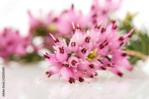 Obrazy lawenda makro-kwiatow-wrzosu