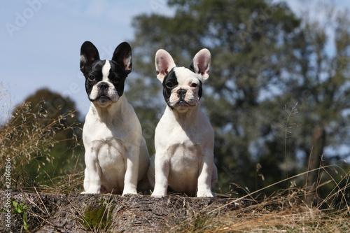 La pose en embrasure Bouledogue français deux jeunes chiens de race bouledogue français assis