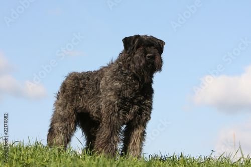 Papiers peints Vache beautiful bouvier des Flandres on the grass, with blue sky