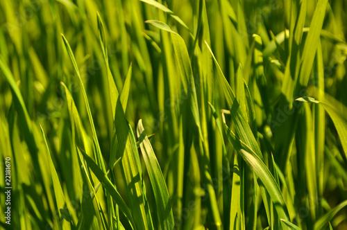 Fresh green grass texture close up